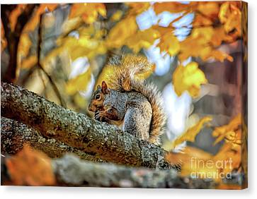 Canvas Print featuring the photograph Squirrel In Autumn by Kerri Farley of New River Nature