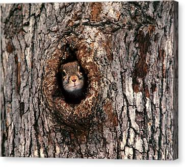 Squirrel Canvas Print by Lloyd Grotjan