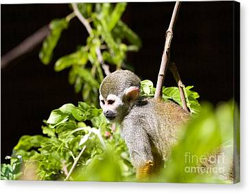 Squirrel Monkey Youngster Canvas Print