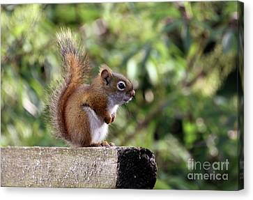 Bushy Tail Canvas Print - Squirrel On The Edge by Marjorie Imbeau