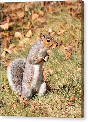 Canvas Print featuring the photograph Squirrely Me by Debbie Stahre