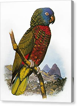 St Lucia Amazon Parrot Canvas Print by Granger