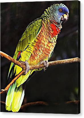 St Lucia Parrot Canvas Print by Chester Williams