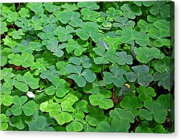 St Patricks Day Shamrocks - First Green Of Spring Canvas Print by Christine Till