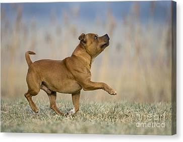 Dog Walking Canvas Print - Staffordshire Bull Terrier by Jean-Louis Klein & Marie-Luce Hubert