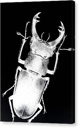 Stag Beetle Canvas Print by Gabriela Insuratelu