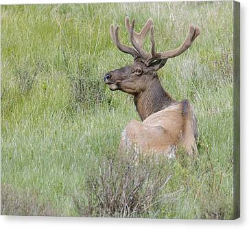 Stag Photo Canvas Print
