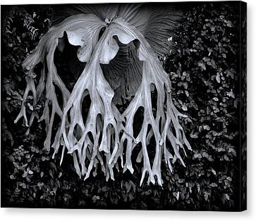 Canvas Print featuring the photograph Staghorn Fern by Wayne Sherriff