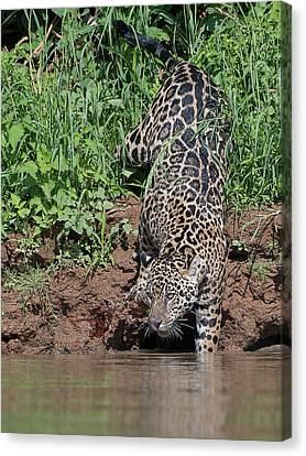 Canvas Print featuring the photograph Stalking Jaguar by Wade Aiken