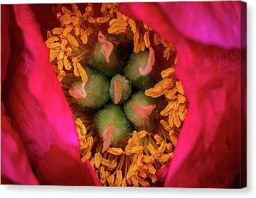 Stamen And Pistils Canvas Print by Jay Stockhaus