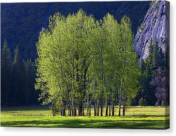 Stand Of Trees Yosemite Valley Canvas Print by Garry Gay