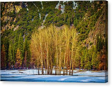 Stand Of Winter Trees Canvas Print by Garry Gay