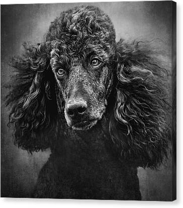 Standard Poodle Portrait 1 Canvas Print by Wolf Shadow  Photography