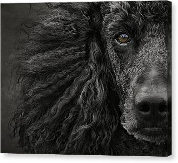 Standard Poodle Portrait Canvas Print by Wolf Shadow  Photography