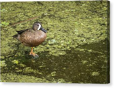 Standing On One Foot Canvas Print by Dawn Currie