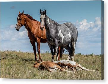 Standing Watch Over The Foals Canvas Print