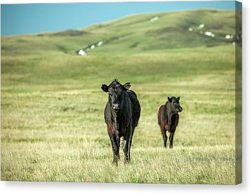 Angus Steer Canvas Print - Standoff by Todd Klassy