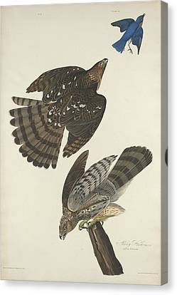 Stanley Hawk Canvas Print by Dreyer Wildlife Print Collections