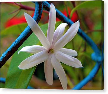 Star Jasmine Flower Canvas Print