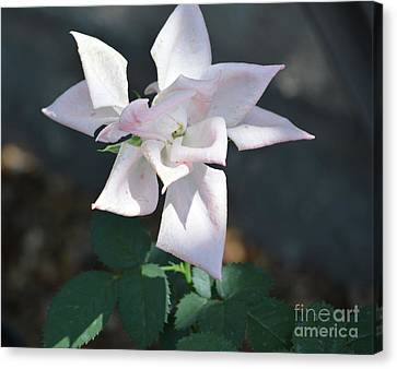 Star Shaped Rose  Canvas Print by Ruth Housley