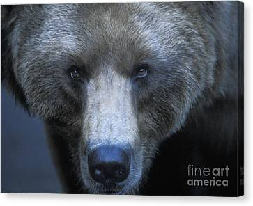 North American Wildlife Canvas Print - Stare Down by Sandra Bronstein