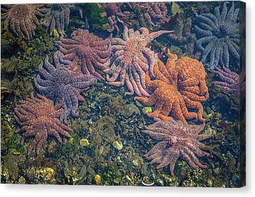 Whalers Cove Canvas Print - Starfish by Wild Montana Images