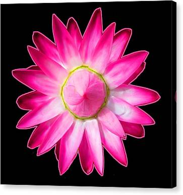 Starflower Opening  Mandala Canvas Print