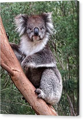 Staring Koala Canvas Print by Helaine Cummins