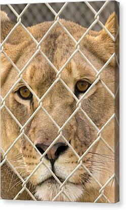 Staring Lioness Canvas Print