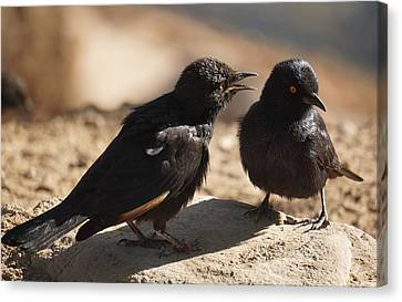 Starling Discussion. Canvas Print