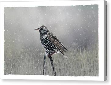 Starling In Winter Canvas Print