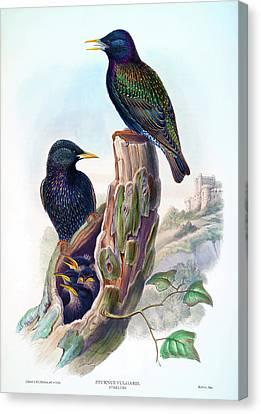 Starling Antique Bird Print John Gould Hc Richter Birds Of Great Britain Canvas Print by Orchard Arts