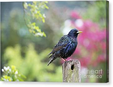 Starling  Canvas Print by Tim Gainey