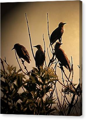 Starlings Canvas Print by Sharon Lisa Clarke