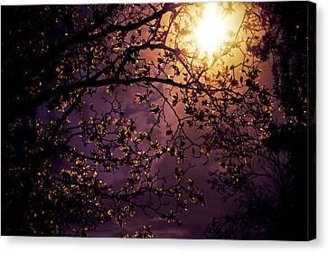 Cherry Blossoms Canvas Print - Stars In An Earthly Sky by Vivienne Gucwa
