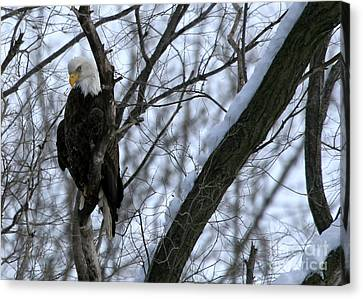 Starved Rock Eagle Canvas Print by Paula Guttilla