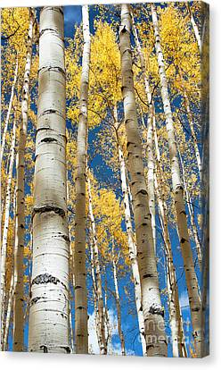 Canvas Print featuring the photograph Stately Aspens by The Forests Edge Photography - Diane Sandoval