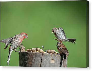 Stay Away You House Finch Canvas Print by Dan Friend