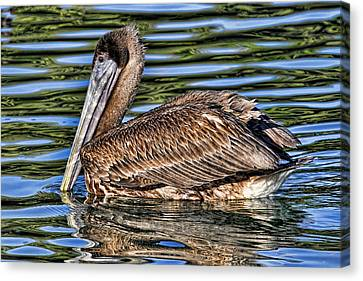 Staying Afloat 2 - Brown Pelican Swimming Canvas Print by HH Photography of Florida