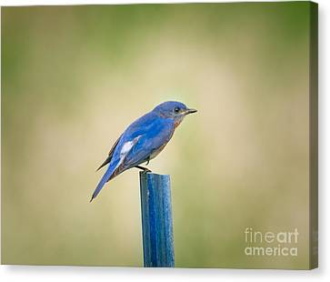 Cabin Window Canvas Print - Stealthy Bluebird by Robert Frederick