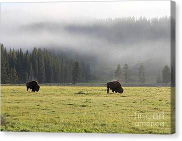 Steam On Bison In Yellowstone National Park Usa At Sun Canvas Print by Adam Long