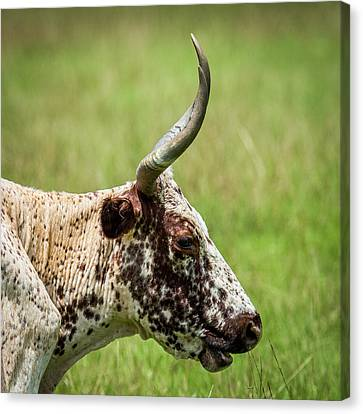 Canvas Print featuring the photograph Steer Portrait by Paul Freidlund