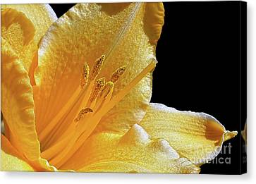 Stella D'oro - Day Lily Canvas Print by Kaye Menner