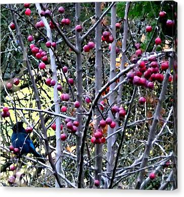 Stellar Jay In Crab Apples Canvas Print by Will Borden