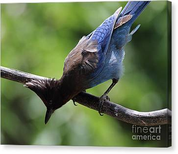 Stellers Jay . 7d6360 Canvas Print by Wingsdomain Art and Photography