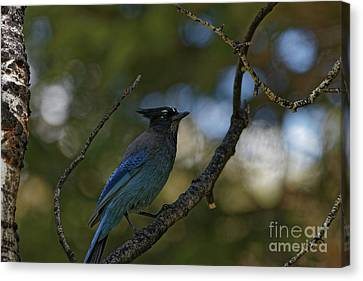 Canvas Print - Steller's Jay In The Rockies by Natural Focal Point Photography
