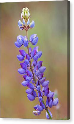 Canvas Print featuring the photograph Stem Of Lupines by Ram Vasudev