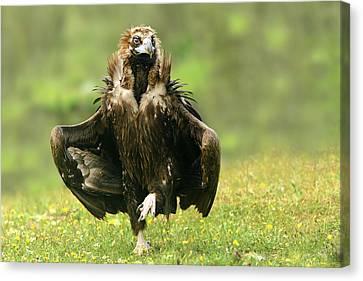 Vulture Canvas Print - Step Dancing by Nicolas Merino