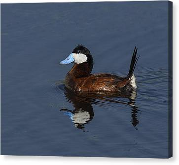 Stiff Tail Canvas Print by Tony Beck