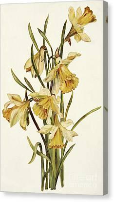 Daffodils Canvas Print - Still Life, Daffodils by English School